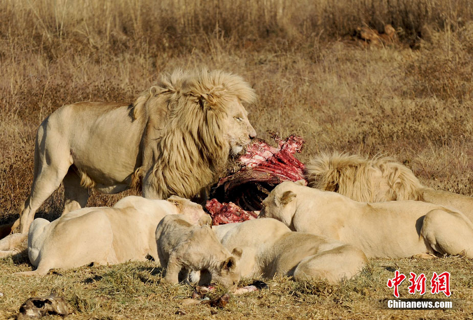 南非野生动物园:与狮子犀牛零距离