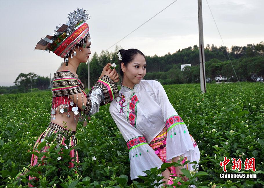 中国茉莉之乡少数民族美女忙采茶