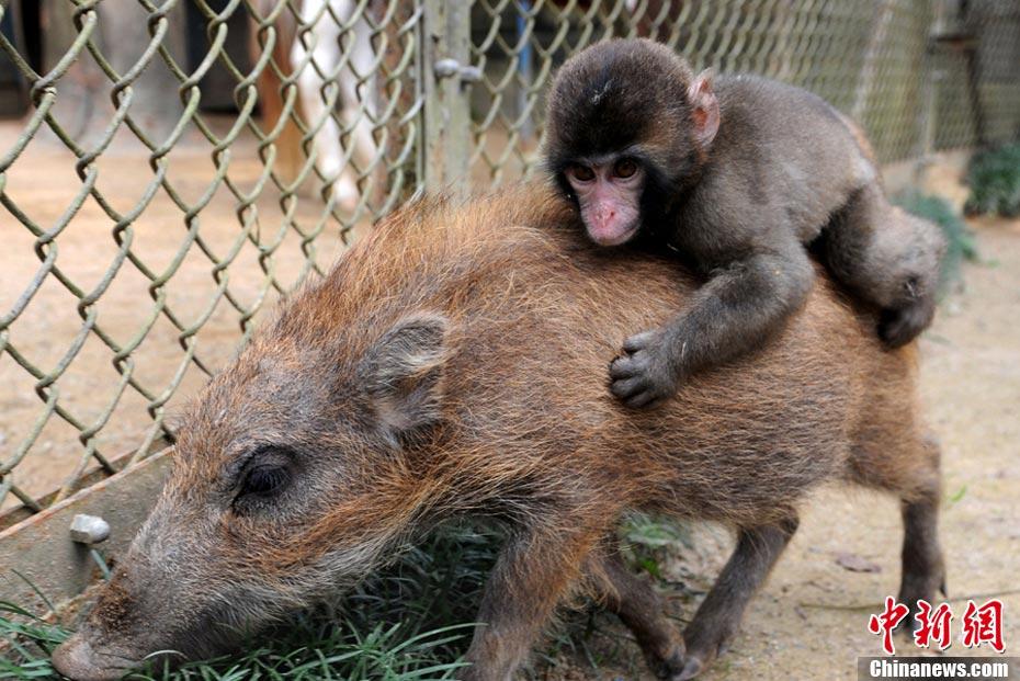 日本动物园小野猪给小猴子当坐骑
