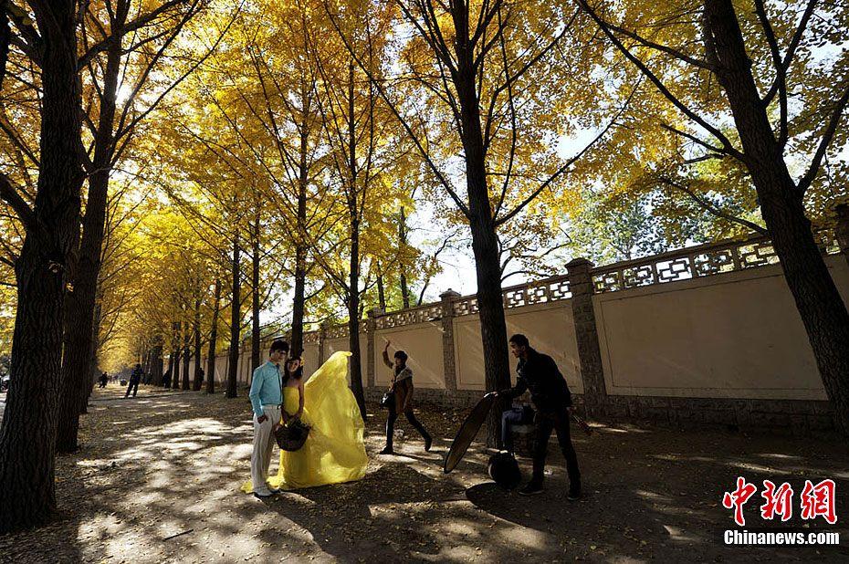 北京银杏树林美景吸引市民-中新网