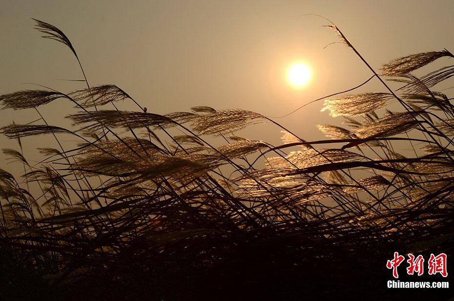 鄱阳湖芦苇迎风摇曳 美景令人醉