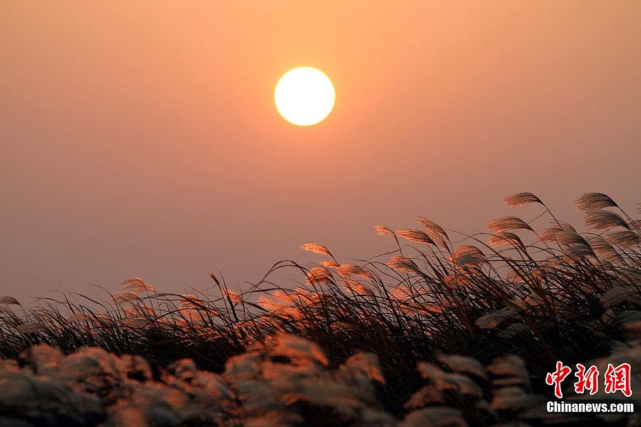 鄱阳湖芦苇迎风摇曳 美景令人醉 中新网