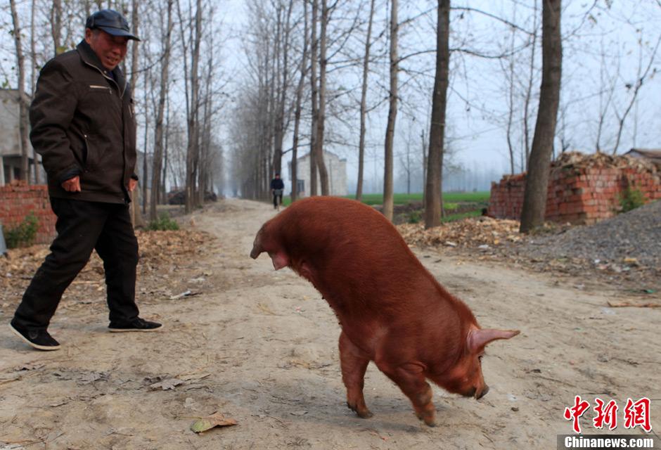 两条腿小猪会走路 姿态如拿大顶 中新网