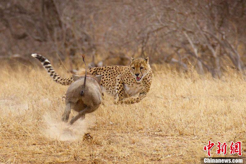 南非猎豹企图快餐 疣猪幸运豹口逃生