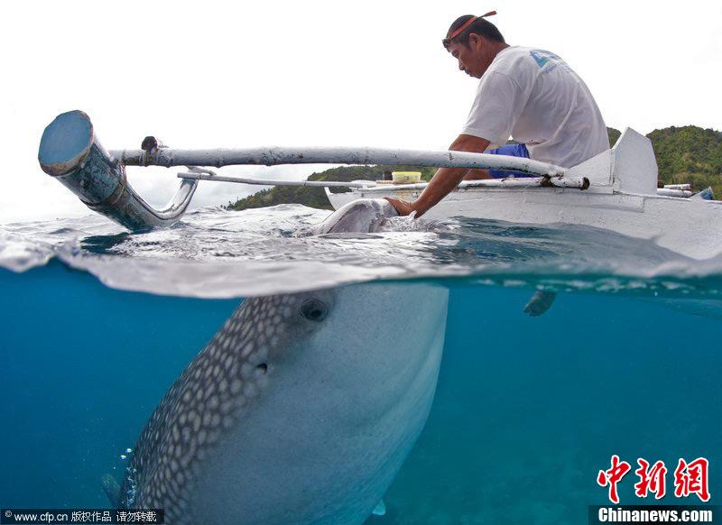 人与自然和谐相处 渔民徒手喂鲸鲨 (2/4)