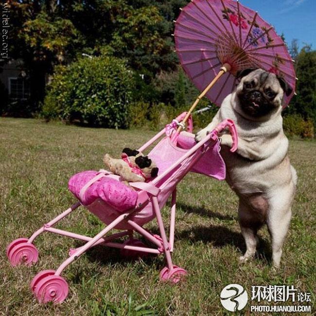 珍妮是一只哈巴狗母亲,她特别喜欢用婴儿车推着她的宝宝招摇过市。珍妮的主人Ellen Zessin是一名儿童读物作家,来自于美国俄勒冈州的波特兰市。她说:珍妮非常喜欢我们买给她的这些哈巴狗毛绒玩具,总是喜欢把它们叼在嘴里,当成自己的孩子一样。我们本以为,哈巴狗都特别温和,但珍妮却充满了对生活的热爱,活力无限。图片来源:环球网