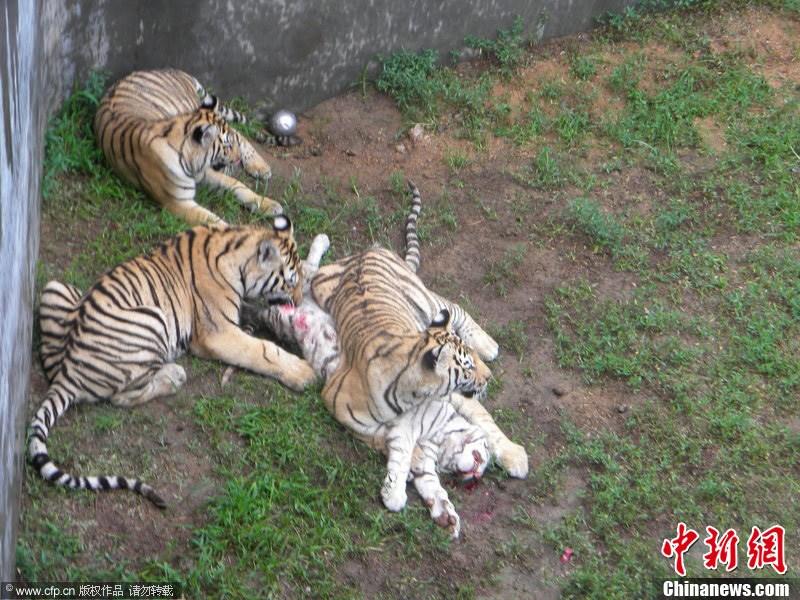 威海动物园数只孟加拉虎咬死稀有白虎