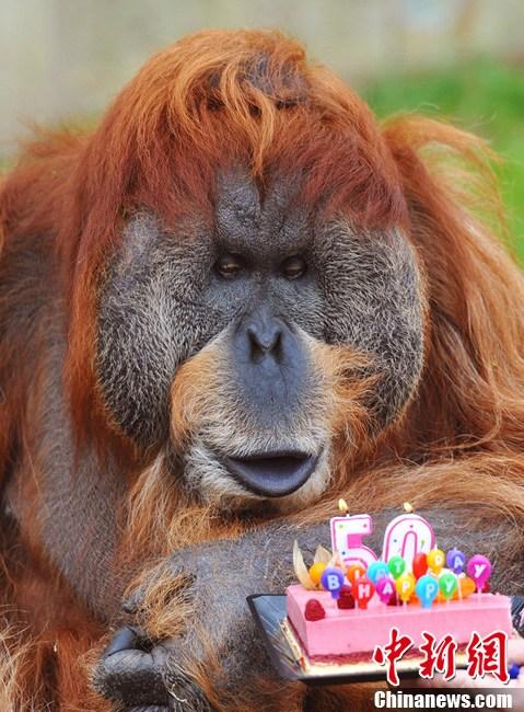法国动物园猩猩过50岁生日