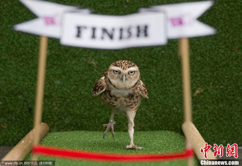 """伦敦动物园举办趣味运动会 猫头鹰""""百米冲刺"""""""