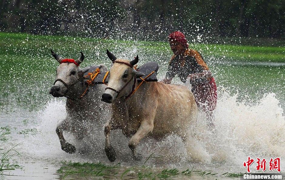 加尔各答 印度/当地时间2012年7月29日,印度加尔各答在稻田中举行了一场水牛...