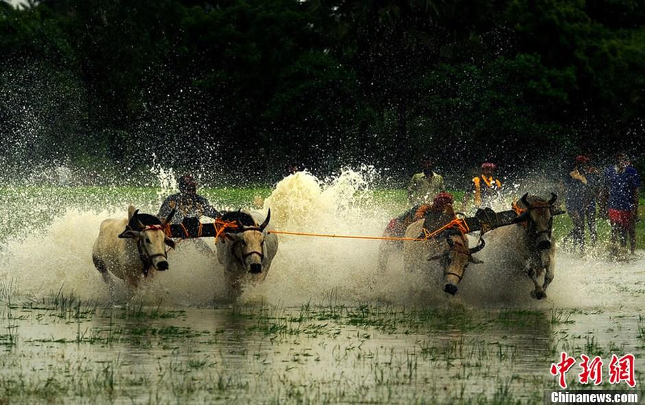 加尔各答/当地时间2012年7月29日,印度加尔各答在稻田中举行了一场水牛...