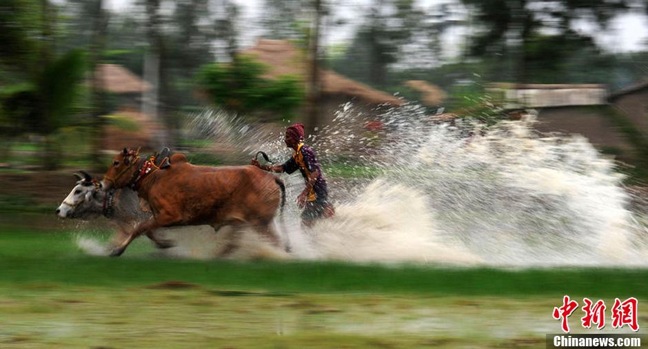 梦露 看天下 奔跑吧 公牛 一周 跨越 物种 已逝 50年/当地时间2012年7月29日,印度加尔各答在稻田中举行了一场水牛...