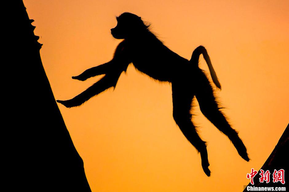 这组图片拍摄的是非洲珍稀野生动物在夕阳下的唯美剪影。非洲野生动物摄影师Brendon Cremer在南非和博茨瓦纳的狩猎保护区和国家公园捕捉下了该国最美的日出日落景象,而大草原上的野生动物们在一轮红日之下悠闲自在的生活,与夕阳构成一幅幅唯美和谐的画面。图为夕阳下的猴子。图片来源:东方IC 版权作品 请勿转载