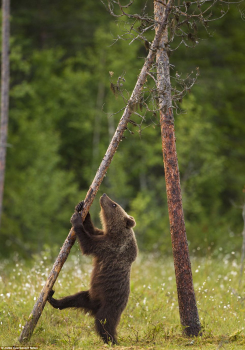 芬兰棕熊幼崽跟妈妈学习生存本领