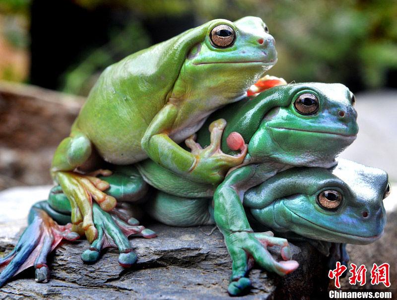 """澳大利亚三只青蛙""""叠罗汉""""成动物园明星"""