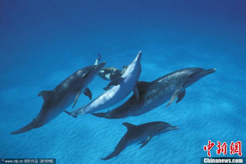 比基尼美女潜水员与海豚同舞 体验蓝色梦幻境