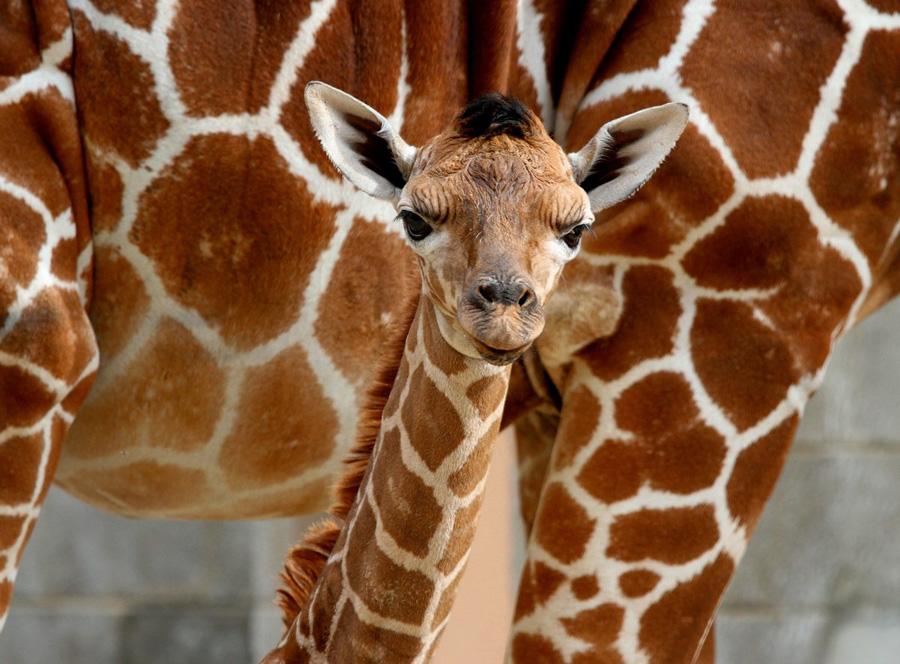 【环球网综合报道】 据美国《赫芬顿邮报》10月3日消息,位于美国犹他州的霍格尔动物园近日迎来一个新居民一只刚出生的长颈鹿宝宝。    这只6英尺高(约1.8米)的小长颈鹿生于9月23日,现在它和母亲才首次与游客见面。自1969年至今,霍格尔动物园已成功孕育出16只小长颈鹿。    由于霍格尔动物园正在建设非洲大草原主题的园区,在这里居住的这只小长颈鹿的爸爸莱利数月前被送往俄勒冈州的一家动物园,它将于2014年项目竣工时回家,与母子团聚。(实习编译刘琦)图片来源:环球网