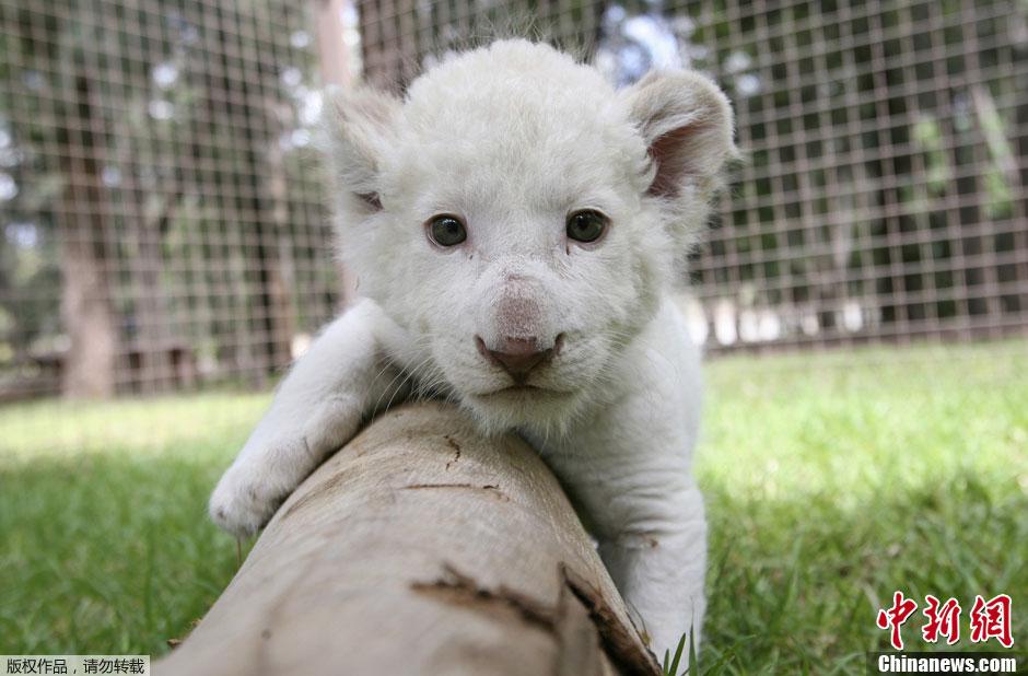 2012最可爱的动物宝宝照片:白狮宝宝;