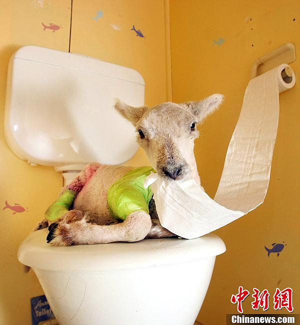 澳大利亚维多利亚,羊之家,Kath Shelton好心收留了很多孤儿羊羔,这些羊羔占据了她的房子,她的沙发,现在她的家里没有一处是整洁的,并且羊儿们都喜欢电视机前最好的位置。虽然Kath Shelton并没有想在自己住的房子里打造一个农场,但一个冬天,她就收留了27只羊,其中有19只生活在她的房子里。不过这些羊儿还是给了她很大的惊喜,这些羊竟然学会了自己上厕所,不能不说是训练有素。图片来源:东方IC 版权作品 请勿转载