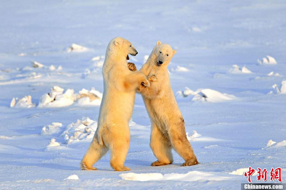 """北极熊""""情侣""""跳起浪漫冰上""""华尔兹""""图片"""
