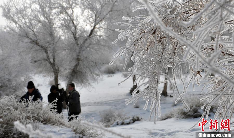 新疆塔里木河流域胡杨林出现雾凇美景