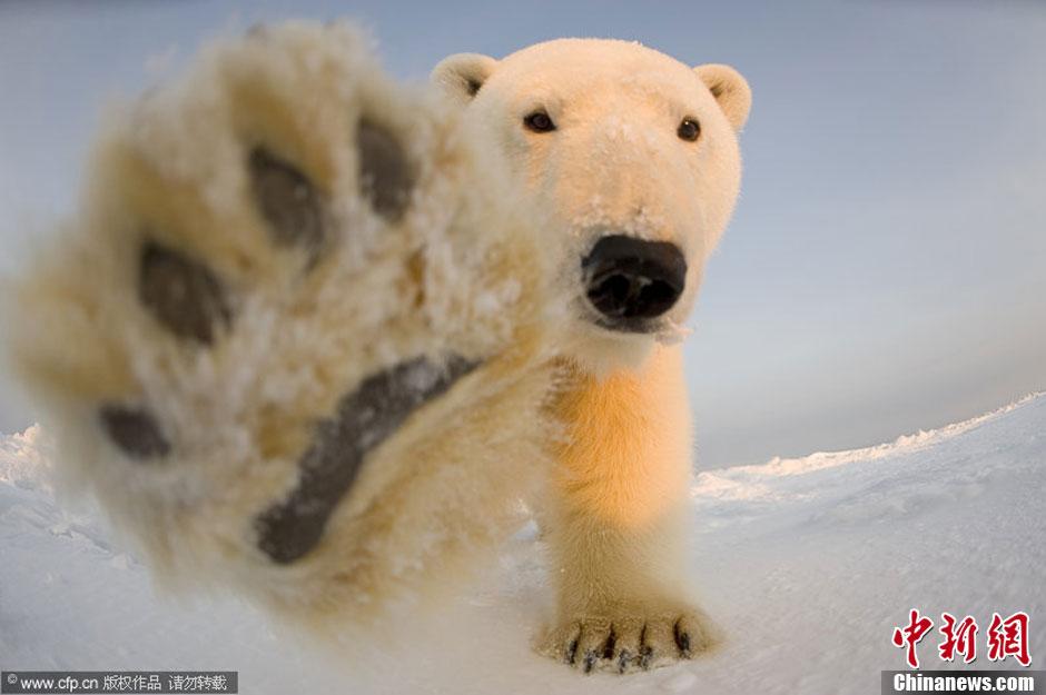 """""""猛兽""""也温柔:阿拉斯加北极熊不惧镜头频卖萌"""