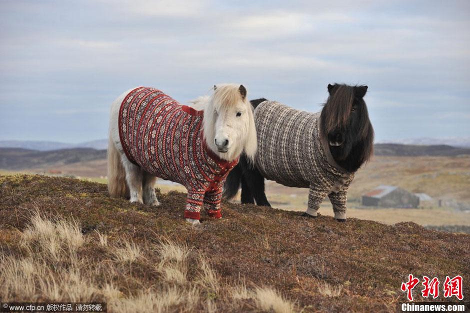 小矮马成苏格兰旅游形象代言 穿毛衫拍照超有