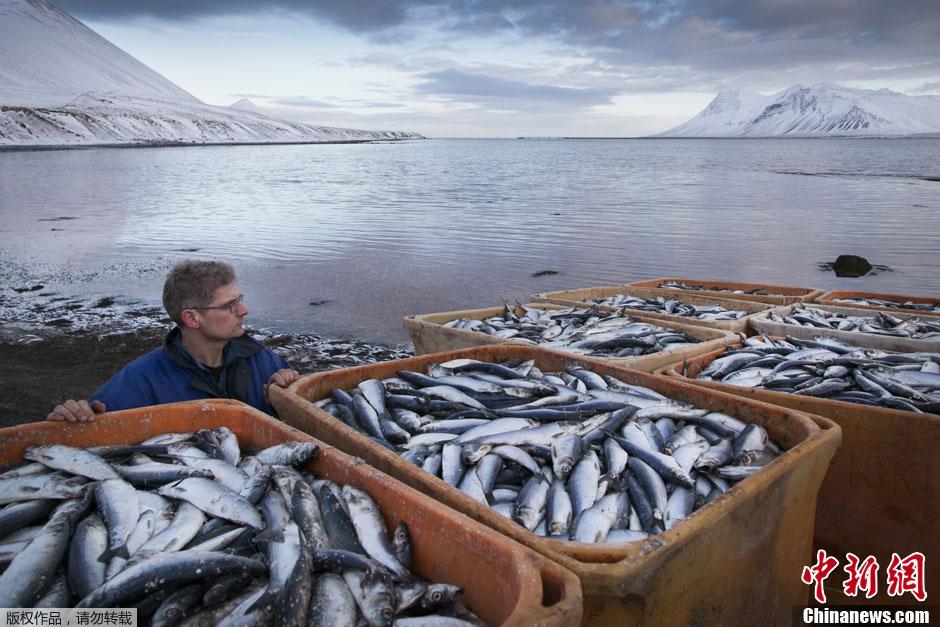 冰岛海湾中近3万吨鱼类因缺氧死亡