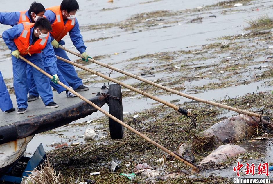 黄浦江死猪_上海黄浦江漂浮死猪打捞工作仍在继续- 中国日报网