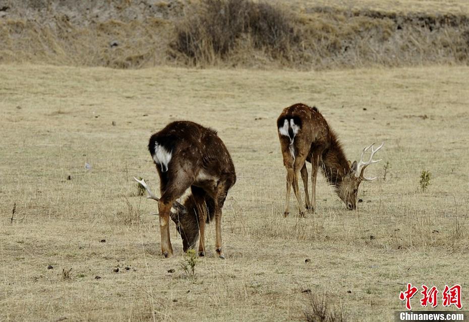 保护区以保护四川梅花鹿及其栖息地为主