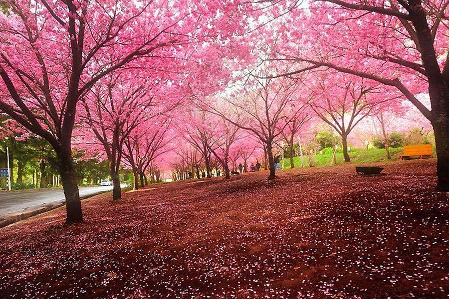 全球最美樱花祭