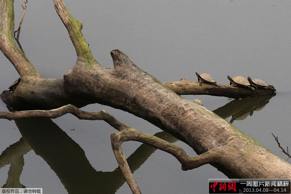 ranga),一棵树倒在河中,几只乌龟爬上树枝.-一周图片新闻精粹 图片