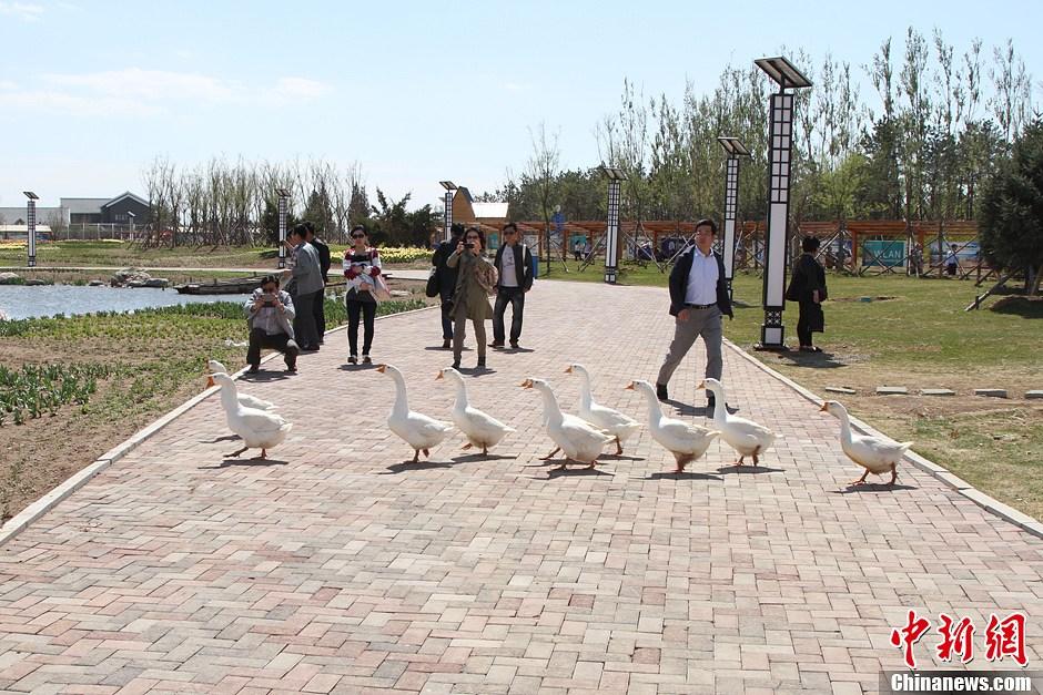 锦州世博园风光:天鹅戏水 鸟语花香