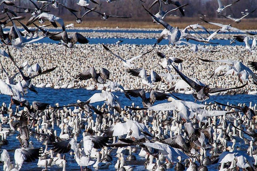 美百万雪雁大迁徙 场面壮观酷似暴雪来袭