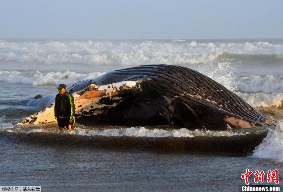 金侨驹�(_秘鲁海滩现15米长搁浅座头鲸