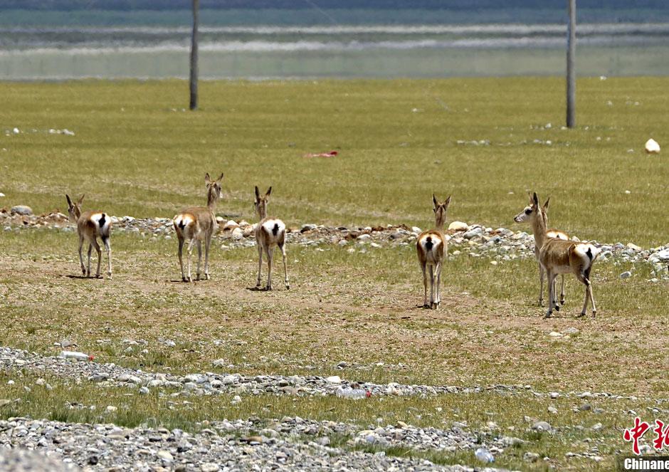 西藏野生动物迁徙,繁殖季受全面保护-中新网