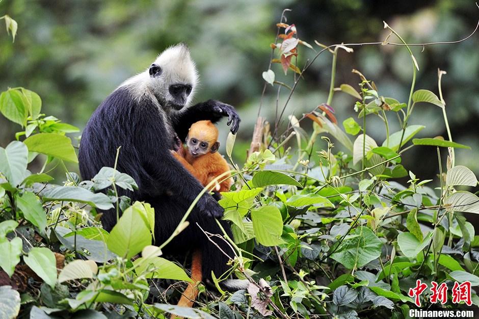 喀斯特精灵——世界极度濒危动物白头叶猴