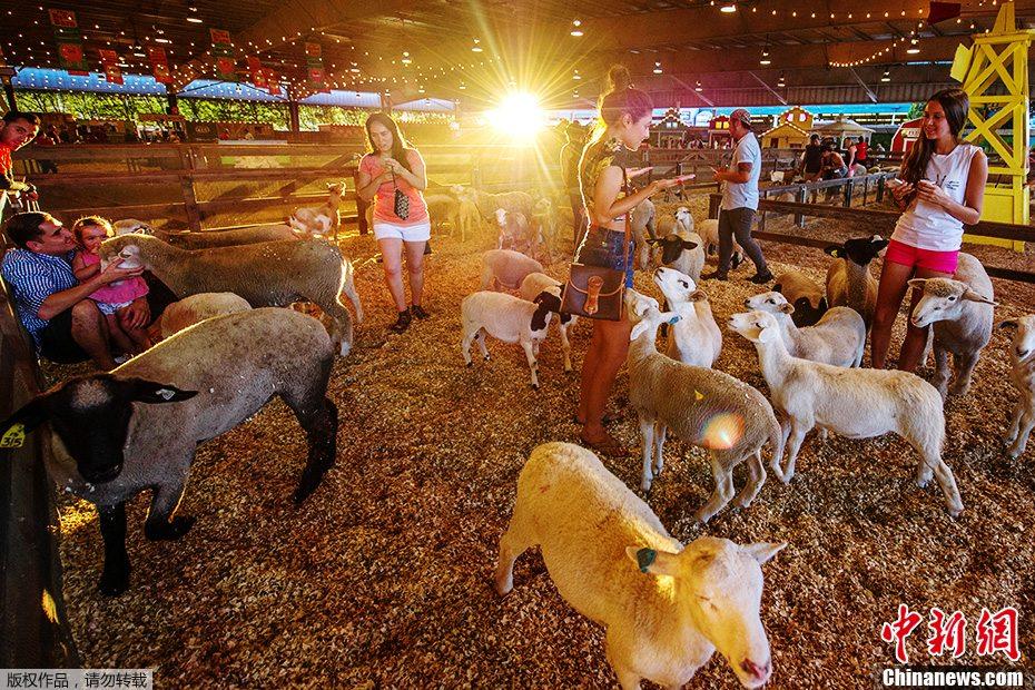 美洛杉矶县农业展现黏人小羊 蹭美女大腿求关