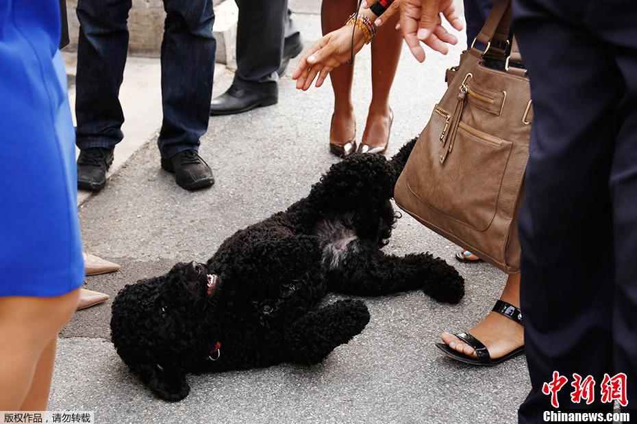 """奥巴马新宠物狗白宫散步 撒欢打滚""""求围观"""""""
