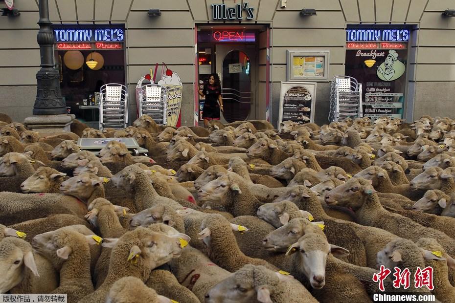国庆黄金周新闻图片回顾——羊群过市