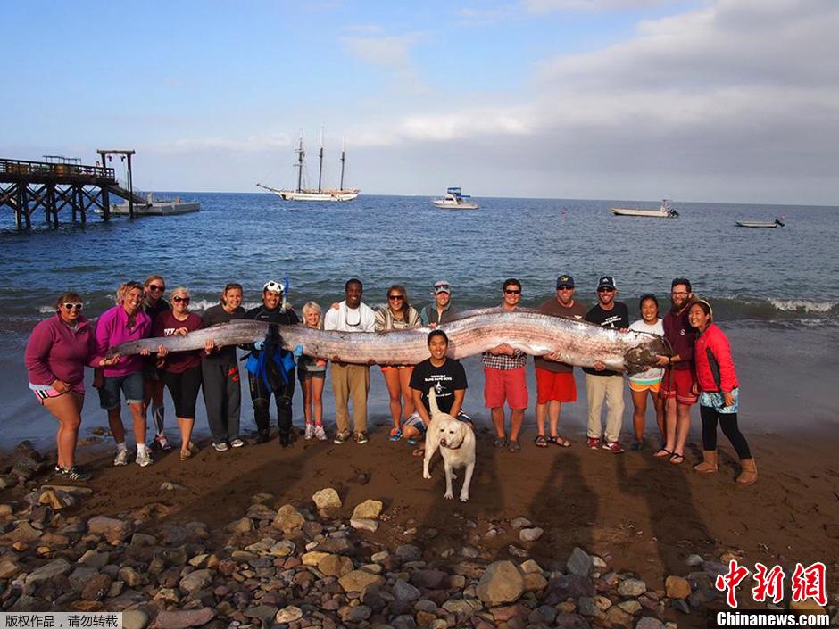 美国发现近6米长皇带鱼