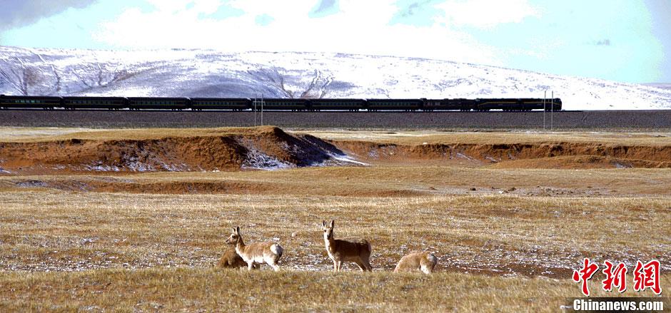 青藏铁路沿线野生动物数量明显恢复