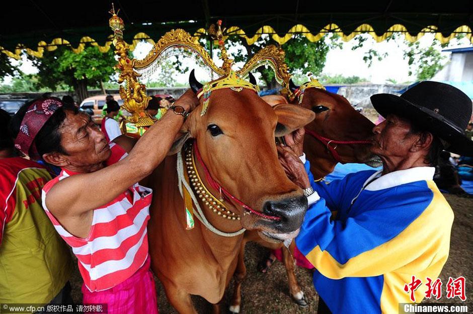 """印尼举办母牛选美大赛 评选最美""""牛小姐"""""""