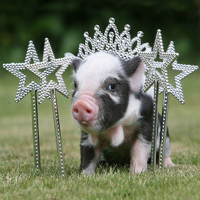 俄罗斯大图网就为读者准备了一个可爱至极的迷你猪影集,这些小猪们有的扮作选美皇后,有的扮作山丘之王,有的正沐浴阳光,有的陶醉于艺术之中,它们可爱的姿态,以及享受生活的幸福状态相信会给读者带来好心情。图片来源:环球网