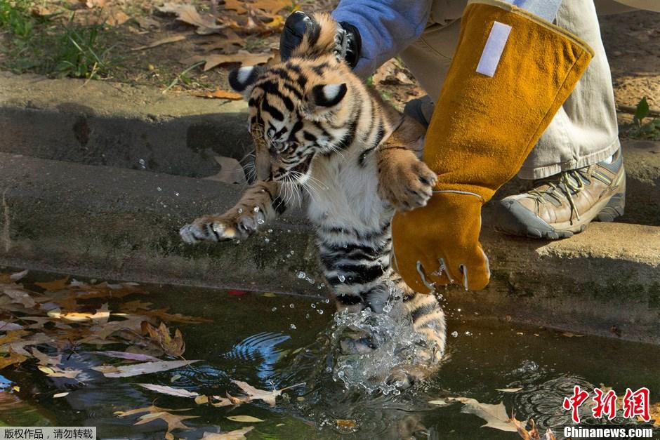 美国小老虎参加游泳考试 瞪大双眼显紧张
