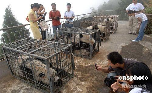 4只大熊猫抵福州鼓岭熊猫山庄避暑高清图片