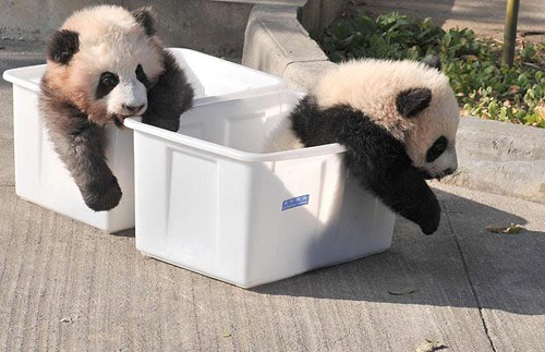 """两只可爱的小熊猫,获得""""最可爱动物""""的亚军."""