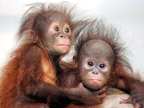 """两只淘气的猩猩,获得""""厚脸皮动物""""奖的殊荣."""