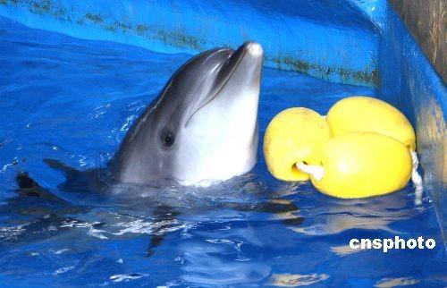 图:北京海洋馆海豚新丁首度公开露面