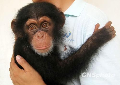 在合肥市野生动物园,是安徽省成功繁殖的首只黑猩猩